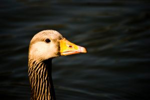 a Simple Portre of a Duck III by POOR-EXECUTIONS