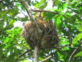 Costa Rica: Two-Toed Sloth by emilyg2014