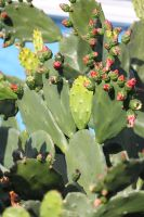 00121 - Cactus with Budding Flowers by emstock