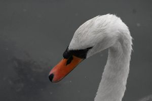 Swan by bloodrosephotography