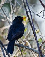 Blackbird by AdrianSadlier