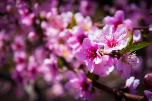 CherryBlossoms by artwizard133