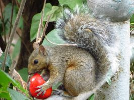 Squirrel Eating a Tomato by Kitteh-Pawz