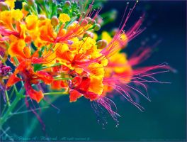 colors of flowers by HasanMHM