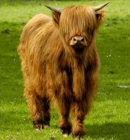 highland cow by pip01