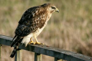 Perched Red Shouldered Hawk by Kippenwolf