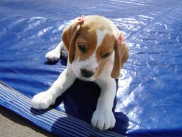 Baby Beagle by iidioteque