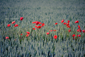 Red life in a field by cpg785