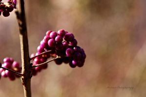 Purple Berries (2) by Michies-Photographyy