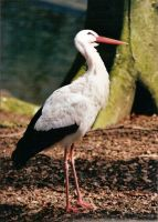 White Stork 2 by DannyTheDude