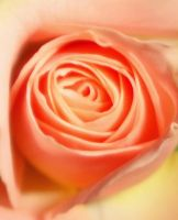 in rose by frei76