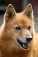 Zeppo the Finnish Spitz by SaNNaS