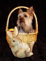 Easter Yorkie by sarahredhead