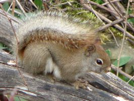 Fluffy Tail Squirrel by CanvasQueen
