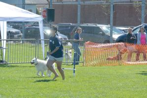 2014 Dog Festival, Agility Contest 11 by Miss-Tbones