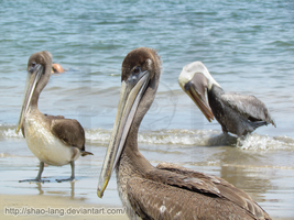 Pelican by Shao-Lang
