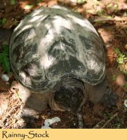 Snapping Turtle- STOCK by Rainny-Stock