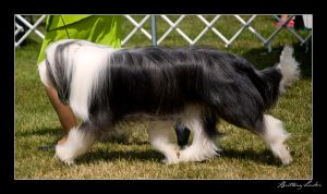 Bearded Collie by StrictlyCanine-SI