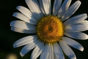 Oxeye daisy #3 by perost