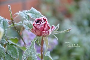 Ice rose by Tioso