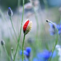 hello red poppy by miezeTatze