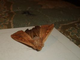 Moth3 by Unmiracle-stock