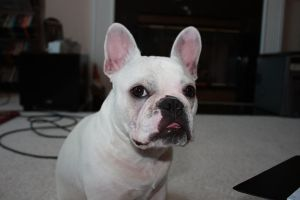 """French Bulldog """"Gibson"""" by cpricecpa"""