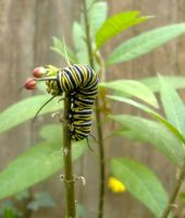 Monarch Caterpillar by DeloreanREB