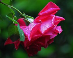 Raining on a Rose by Tailgun2009