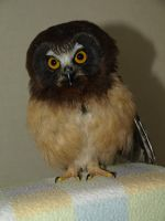 Orestes the Saw Whet Owl by KodaSilverwing