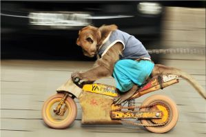 Monkey on Motorcycle by adrielchrist