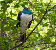 Kereru by firouz222