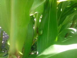 Frog in the Corn by RayMackenzie