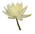 Water Lily 02 by Alz-Stock-and-Art