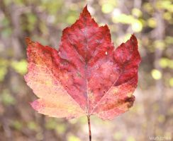 Maple Leaf by Wuhzzles