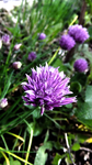 Chives by Adrelinen