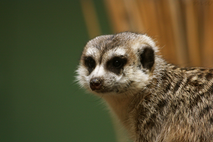 This is a Meerkat by FriendFrog