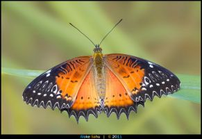 Red Lacewing - II by alokethebloke