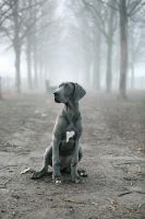 Great Dane by nereidi
