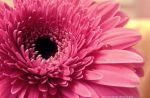 Pink gerbera with a drop by FrancescaDelfino