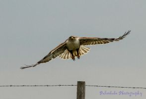 Ferruginous Hawk II by Kaptive8