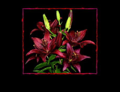 Blood Red Lilies by luv4lestat