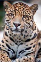 Interested Jaguar by Seb-Photos