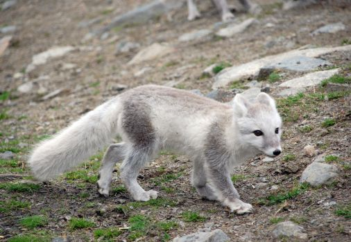 Arctic fox stock 3 by GrayeyesStock