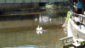 Swans at Knoebels by creepsome