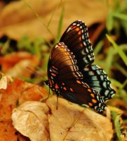 Butterfly in Fall by OrioNebula
