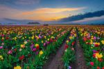 Colorful Tulips by porbital
