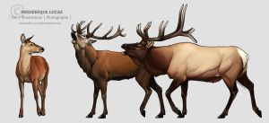 Red deer and Wapiti by namu-the-orca