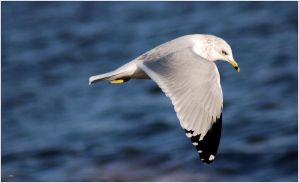 Ring-Billed Gull III by SuicideBySafetyPin