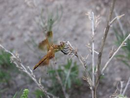 Dragonfly by bphotographyx